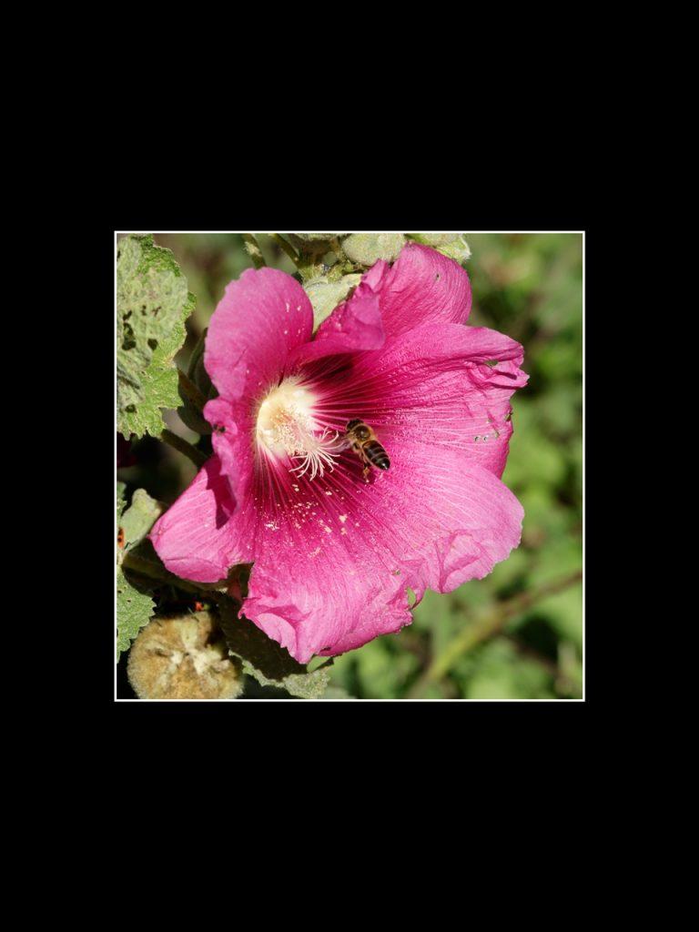 L'attribut alt de cette image est vide, son nom de fichier est H-abeille-sur-rose-tremiere-768x1024.jpg.